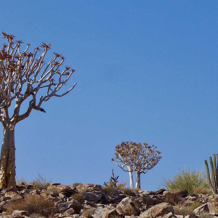 Quiver trees - Namibia safari