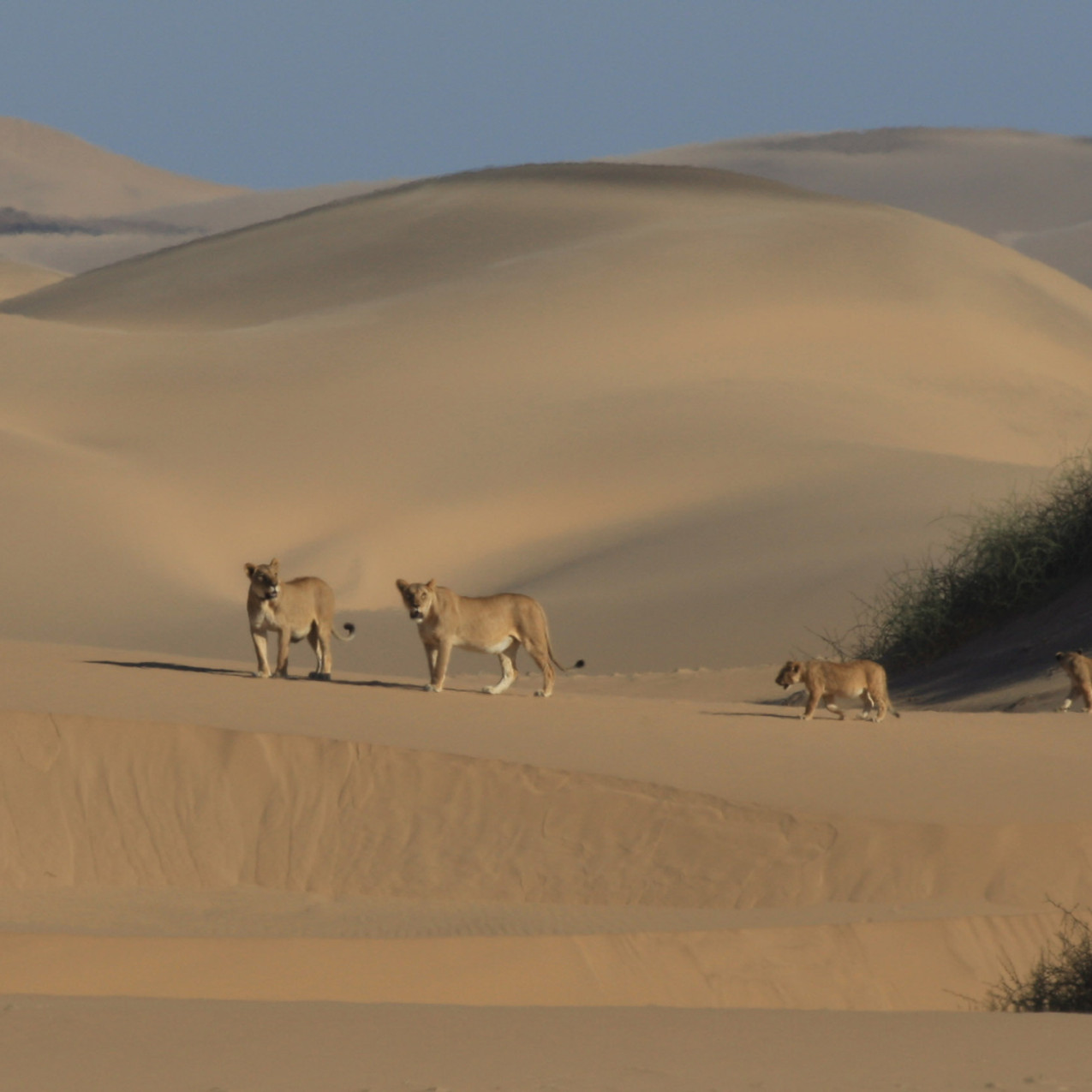 Desert_Lion_Project_Namibia_1