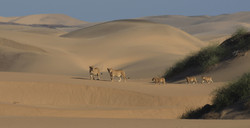 Desert_lion_project_Namibia