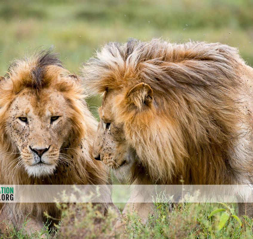 Lion Serengeti Jamie Thom 10