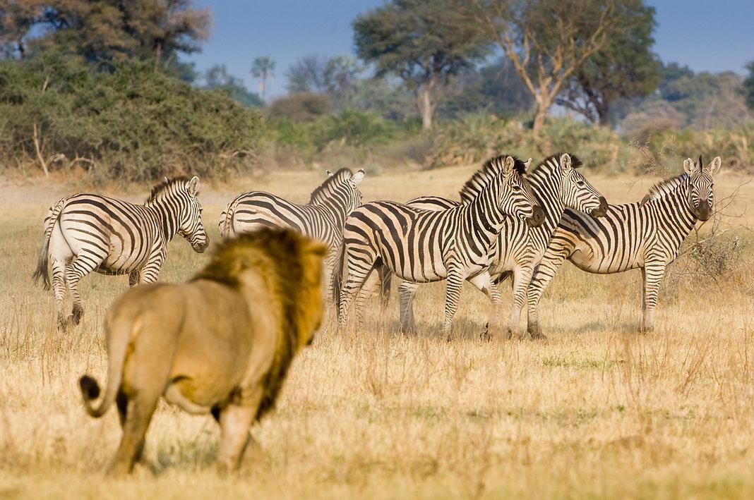Botswana_safari_lion_zebra.jpg