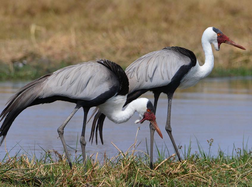 wattled_cranes