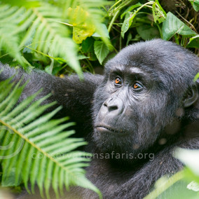 Gorilla safari in Uganda and East Africa - Tarangire, Ngorongoro and Serengeti Safari