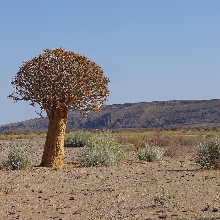 Quiver tree Namibia safari