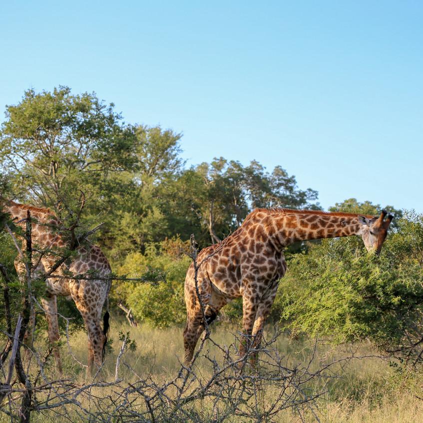 east giraffe west