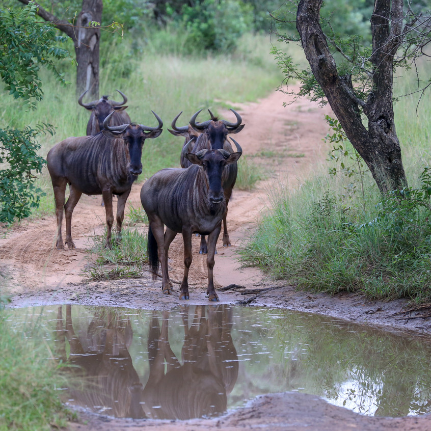 Wildebeest contemplating the puddle