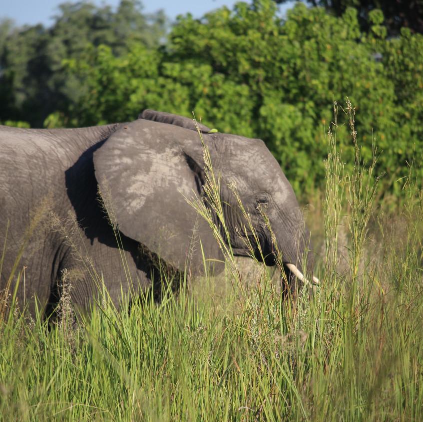Shinde elephant 2