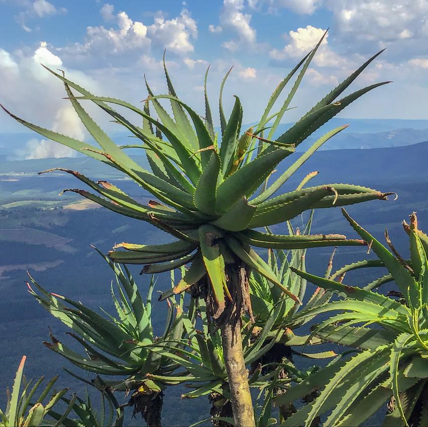 God's window succulent plant