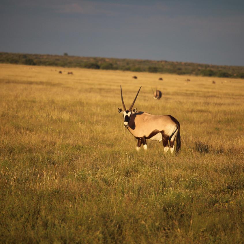 Tau Pan Here's lookin' at you kid oryx