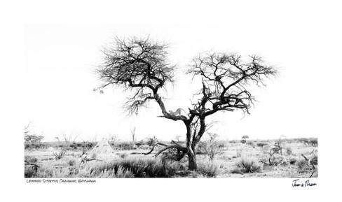 Leopard Stretch.jpg