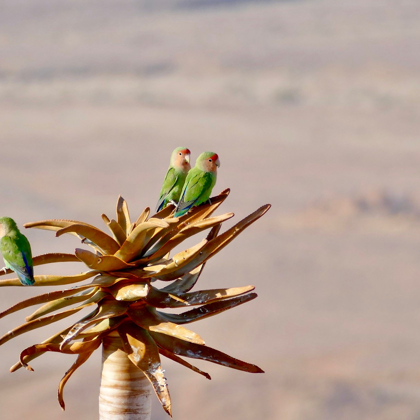 Lovebirds - Namibia safari