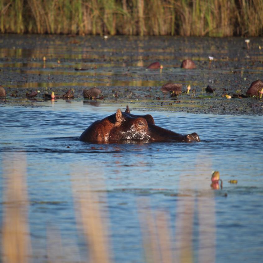 Shinde hippo head