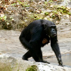 The Magic of Mahale and its Chimps