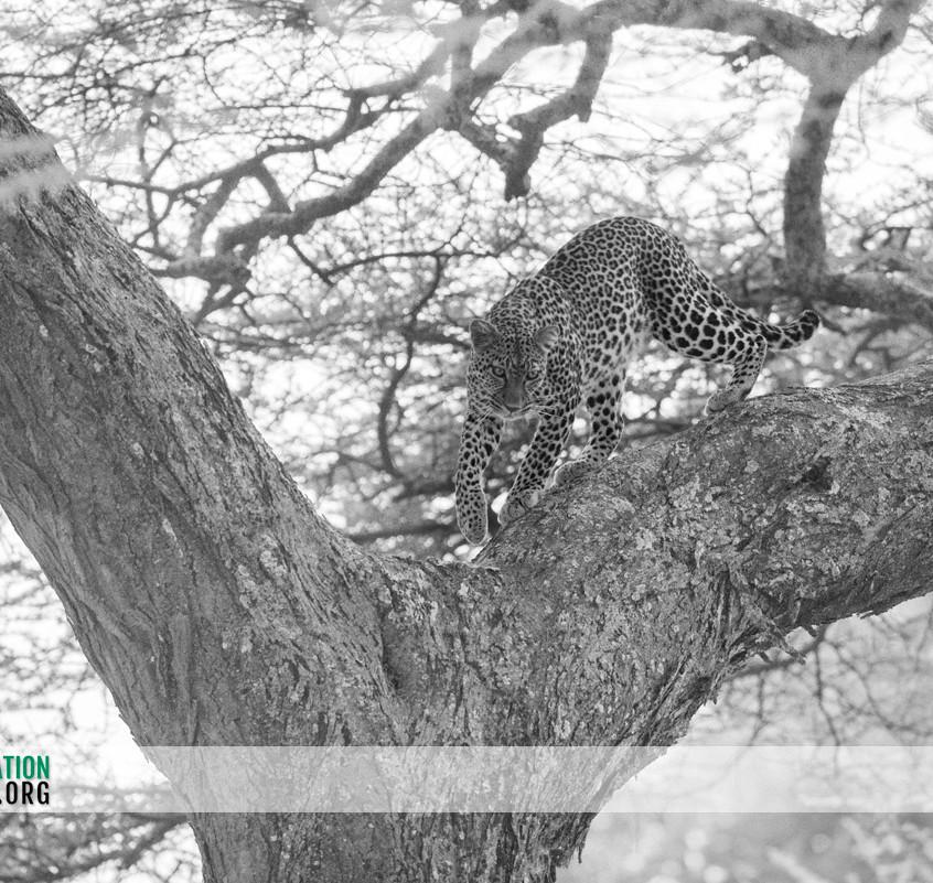 Leopard Serengeti Jamie Thom 04
