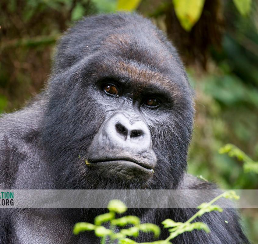 Rwanda Gorilla Safari 04
