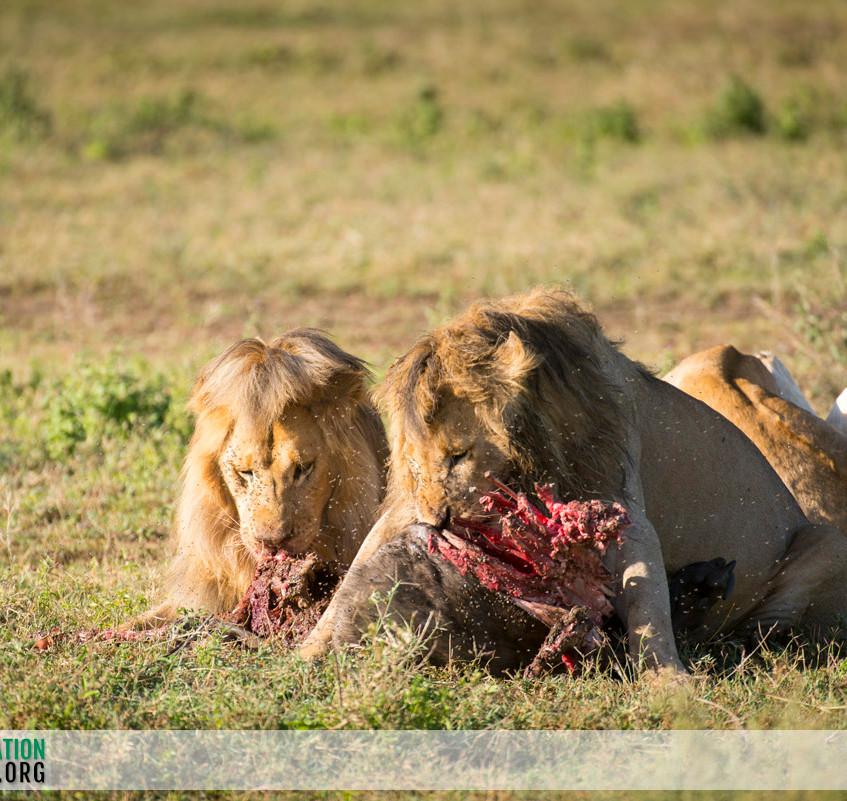 Lion Serengeti Jamie Thom 05