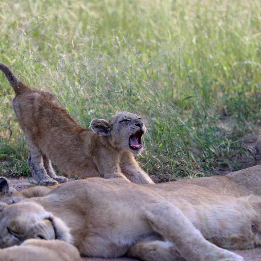 Stretchy Phinda lion cub