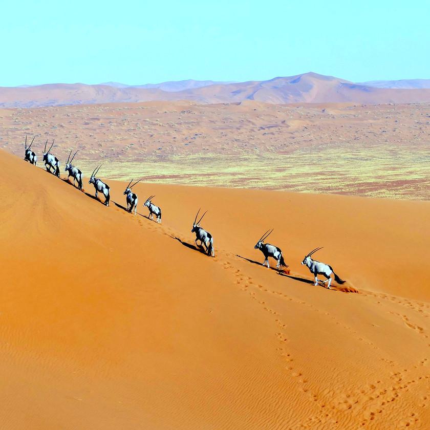Orux herd Sossusvlei Namibia