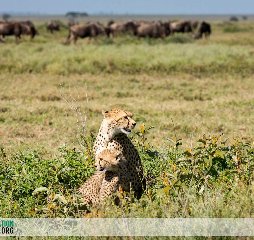 Cheetah Serengeti Jamie Thom 08
