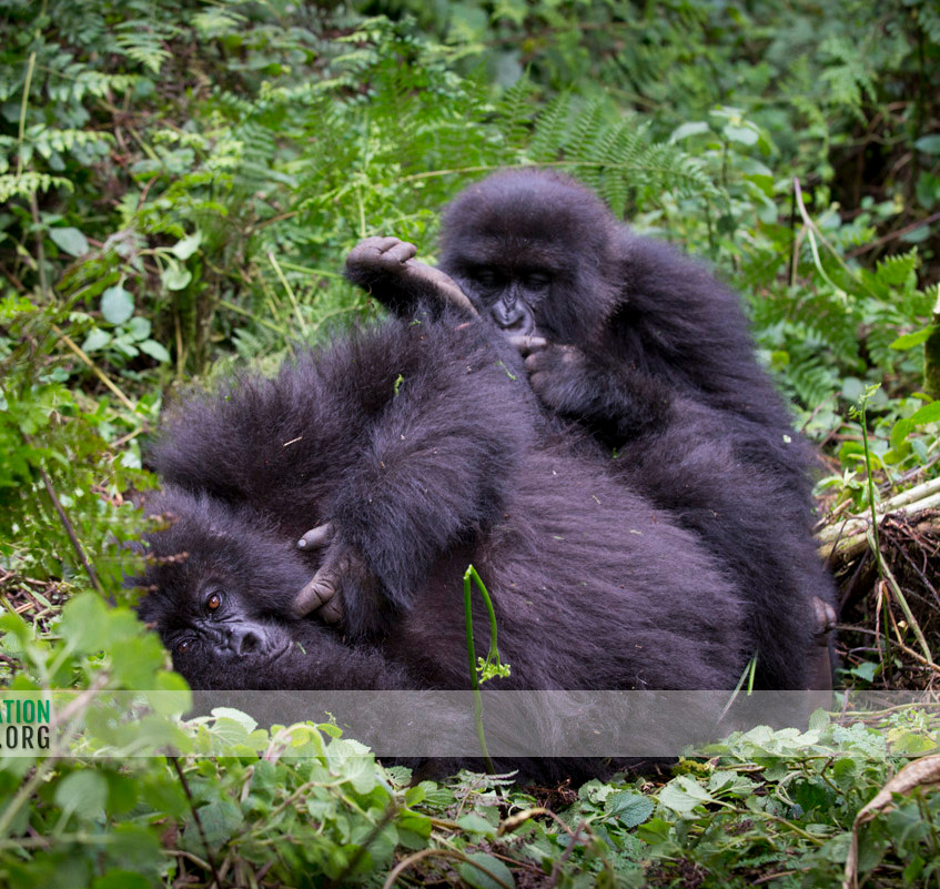 Rwanda Gorilla Safari 06