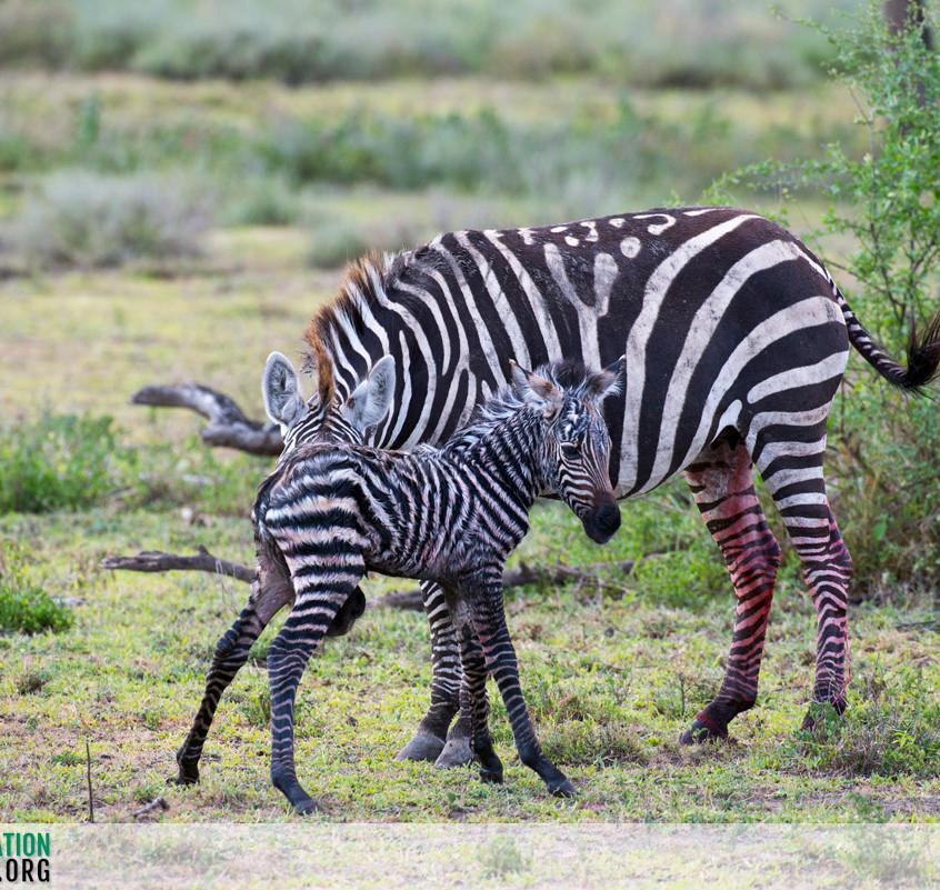 Zebra Serengeti Ndutu Jamie Thom 04