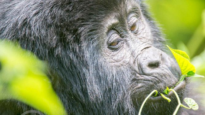 GORILLAS IN BWINDI, Uganda - 3nts