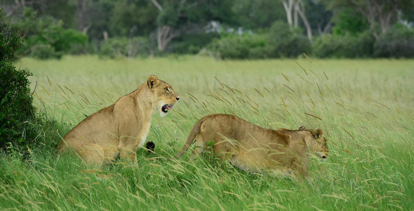 Botswana_safari_lions.jpg