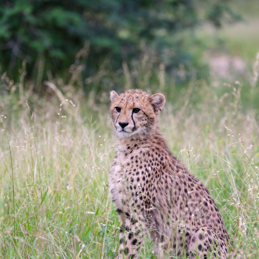 Phinda cheetah