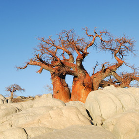 5 Iconic Trees to find on Safari