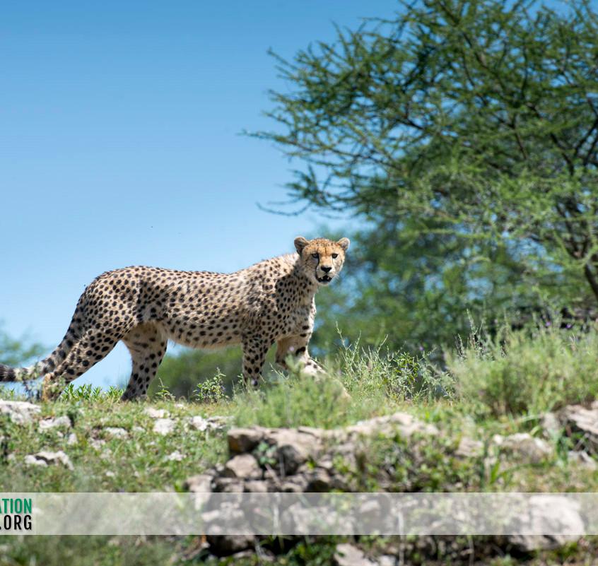 Cheetah Serengeti Jamie Thom 09