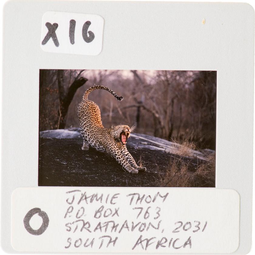 Leopard_Kruger_safari