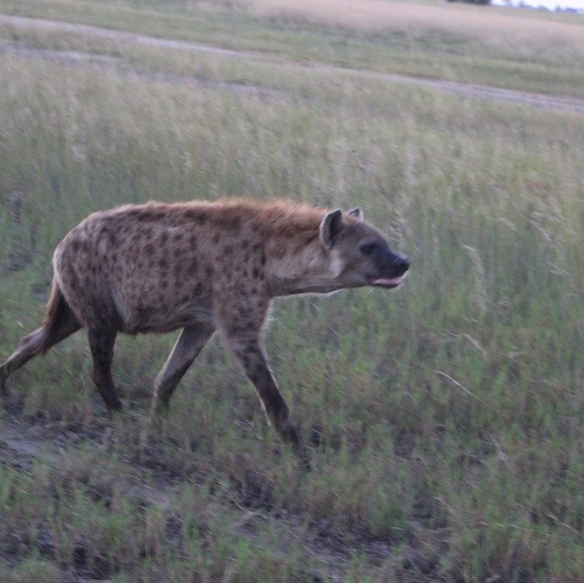 Shinde spotted hyena visitor