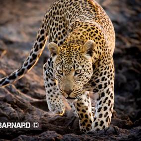 LEOPARD LOVE, Sabi Sands Safari, South Africa