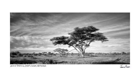 Acacia Tortillis 1.jpg