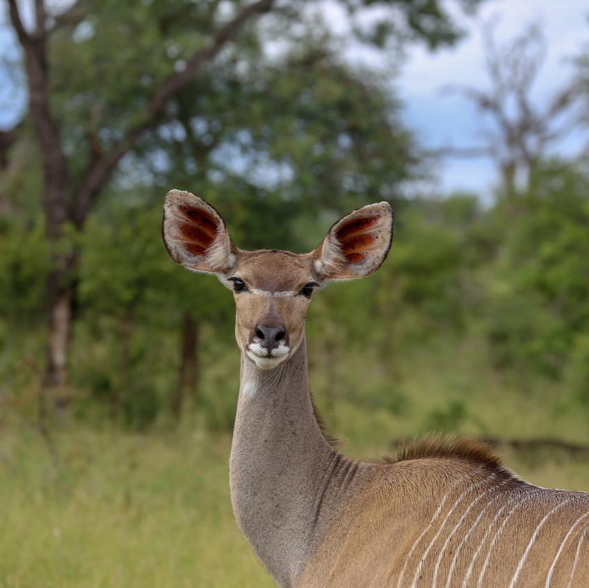 Idube kudu facial