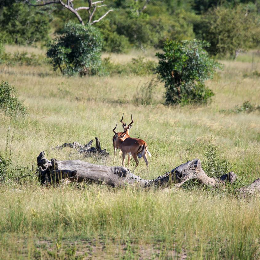 Two Idube Impala