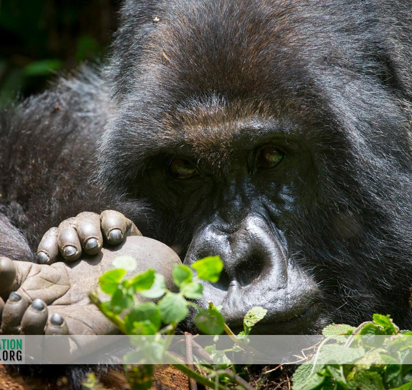 Rwanda Gorilla Safari 23