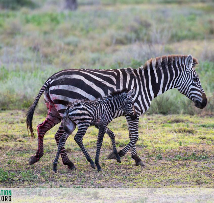 Zebra Serengeti Ndutu Jamie Thom 05