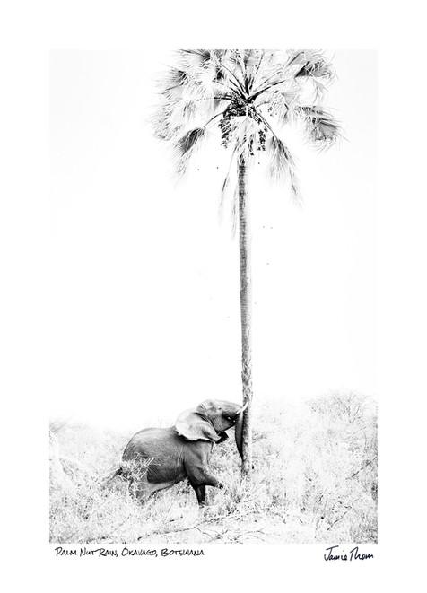 Palm Nut Rain.jpg