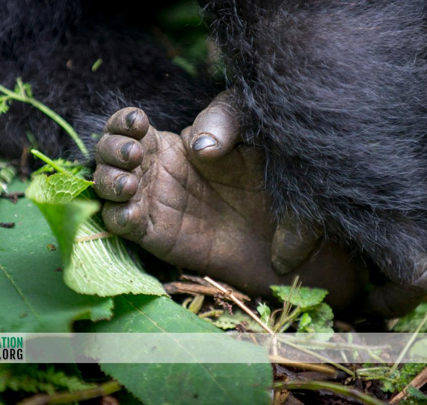 Rwanda Gorilla Safari 22