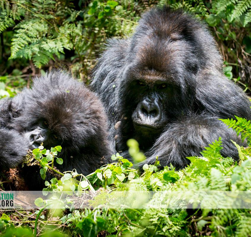 Rwanda Gorilla Safari 19