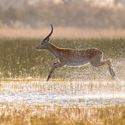 More than Predators - Botswana Safari, Guest Gallery