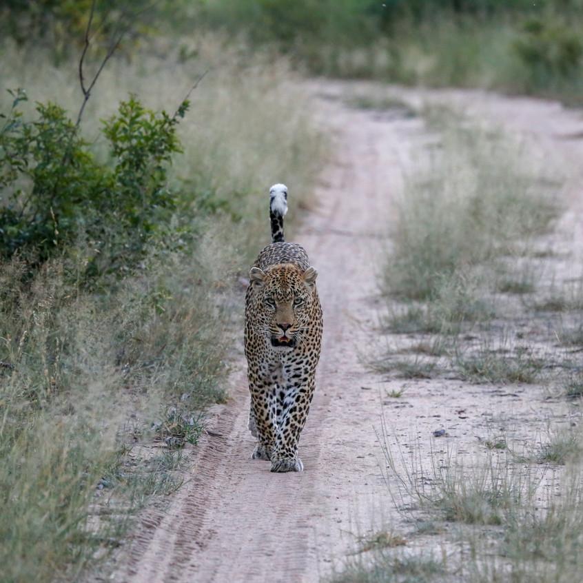 Phinda leopard trail