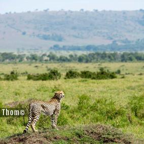 Predator Playground - the Mara Reserve, Kenya