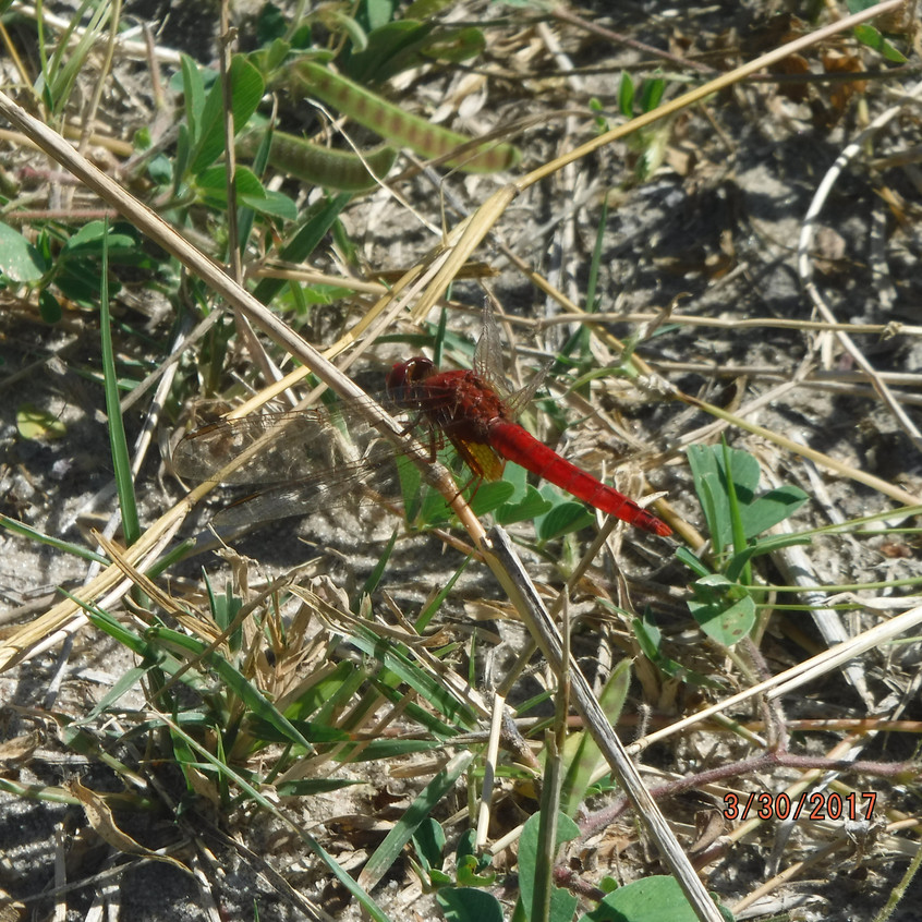 Shinde_red_dragonfly2