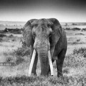 Tolstoy and the Elephants of Amboseli - Luxury Kenya Safari
