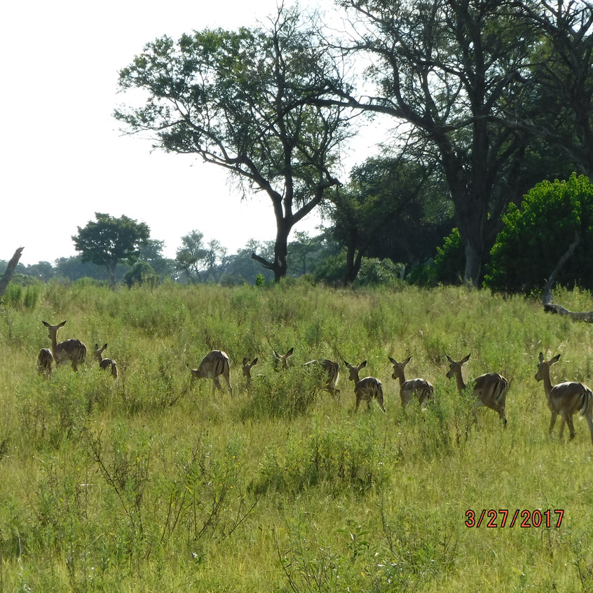 Okavango Impala single file