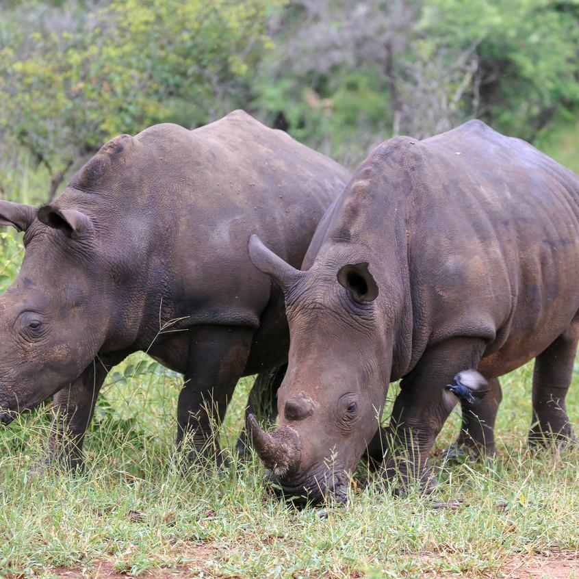 Idube rhino pair