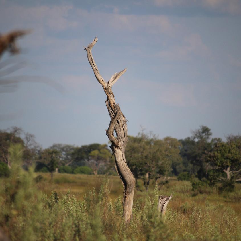 Kanana dead tree