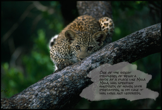 Leopard stare MM.jpg